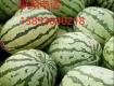 甘肃靖远硒砂瓜是从石头缝里长出来的大西瓜