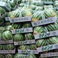 山东省东明县西瓜大量上市品种有新红宝