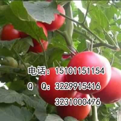北京丰台西红柿种子荷兰粉霸一代杂交种