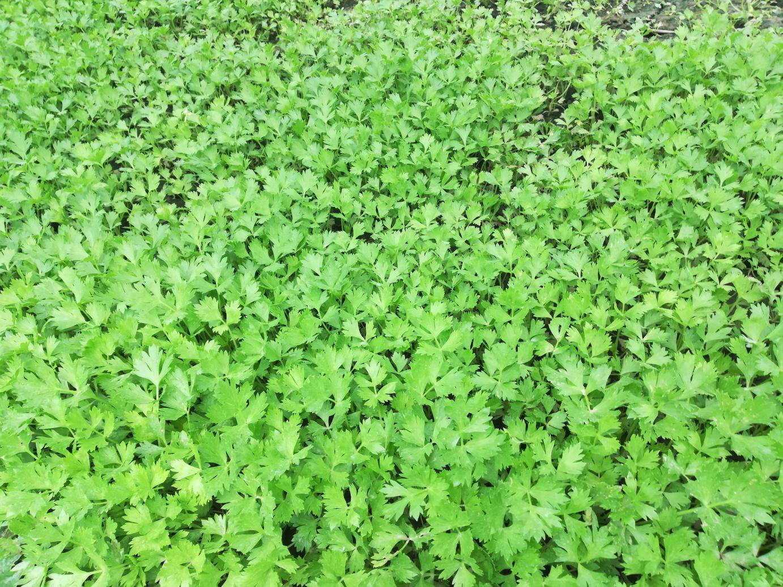 芹菜苗 大量出售 大棚芹菜苗基地
