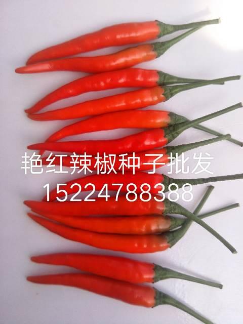 艳红辣椒种子公司丨艳红朝天椒种子公司丨艳红