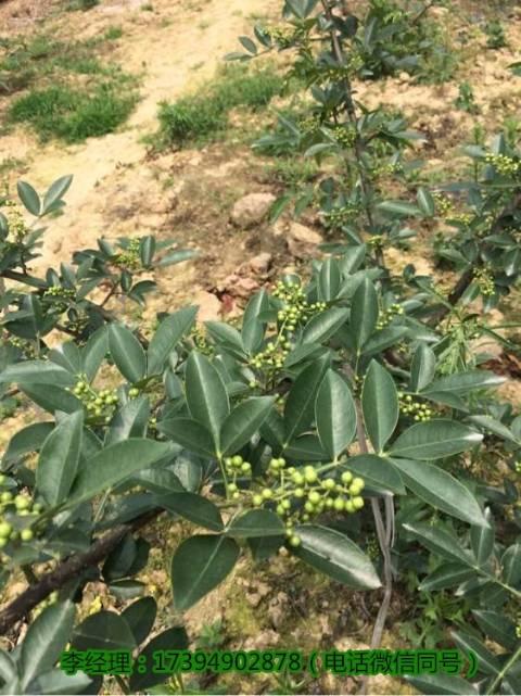 游仙植藤椒三年丰产五后盛产亩产量高