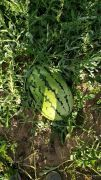 刚开园1000亩大西瓜,10斤起步15斤起步都有