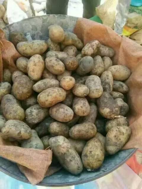 北林荷兰十五土豆 各种优质脱毒马铃薯种子