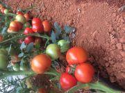 云南泸西杂交一代大红番茄种子,中早熟品种