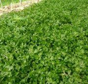 砀山县蔬菜基地工棚芹菜苗大量上市