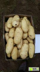 大量出售荷兰十五土豆