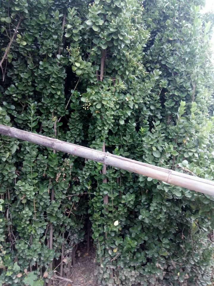 青州自家栽种的绿化苗木,质量有保证