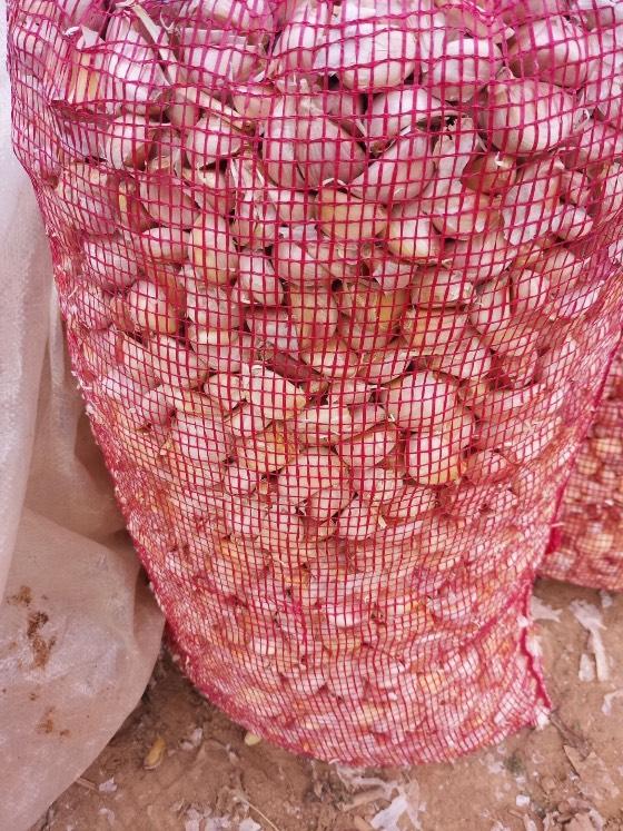金乡县纯本地紫皮蒜种热卖中,亩产六千斤