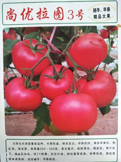 寿光硬粉西红柿 尚优拉图3号种子
