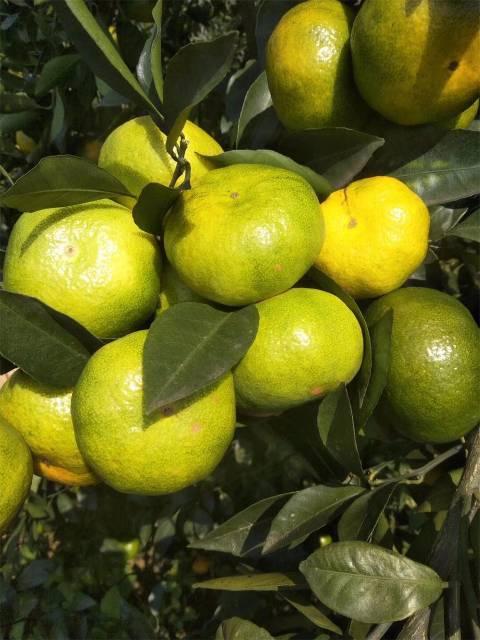临澧基地柑橘苗特早熟由良蜜桔苗