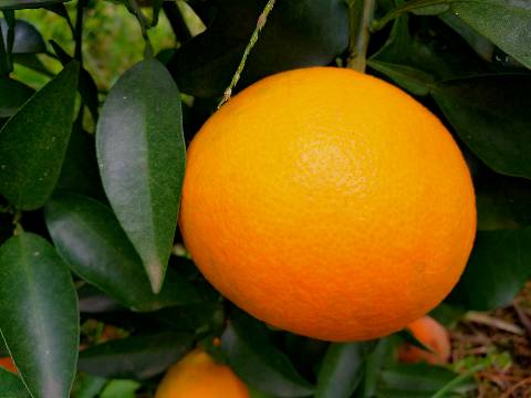 湖南千思爱媛38号柑橘苗日本杂柑优质品种