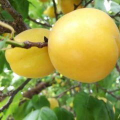杏树苗几年可以结果_杏品种哪个好