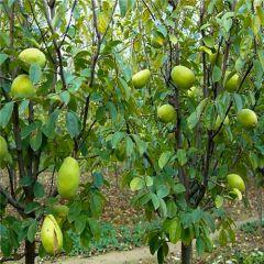 沭阳木瓜树苗1米高度0.8元/棵,2米高度1.5元/棵
