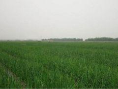 洋葱种苗培育销售,免费提供技术指导