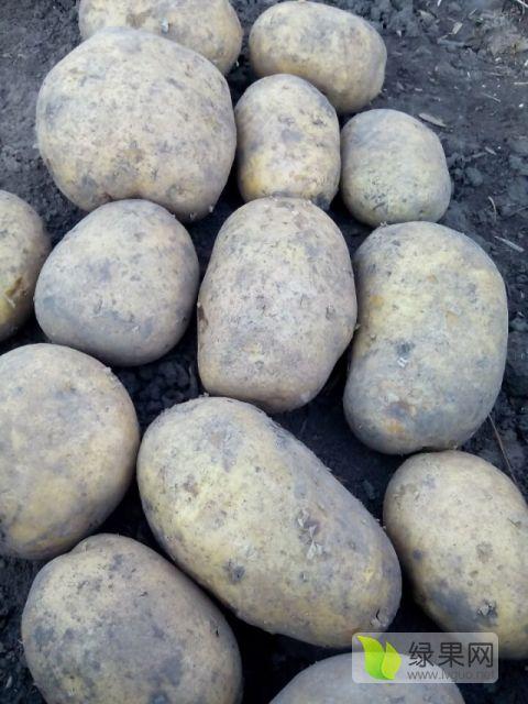 黑龍江土豆(荷蘭十五)(尤金885)(延暑四號)(等等)
