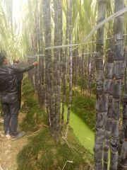广西博白黑皮甘蔗(果蔗)专业代办合作团