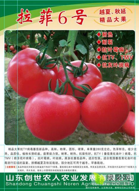 寿光圣地许晓霞拉菲6号番茄种子