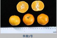 华美7号柑橘果华美7号柑橘种苗
