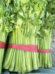 河北省昌黎县大棚芹菜大量上市