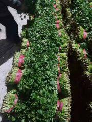 河北省昌黎县大叶香菜大量上市