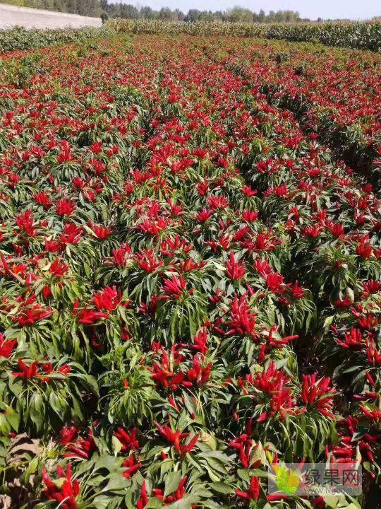 豫山红农业:咱农民的摇钱树