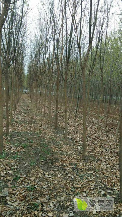 一级国槐树和白蜡大量有现货