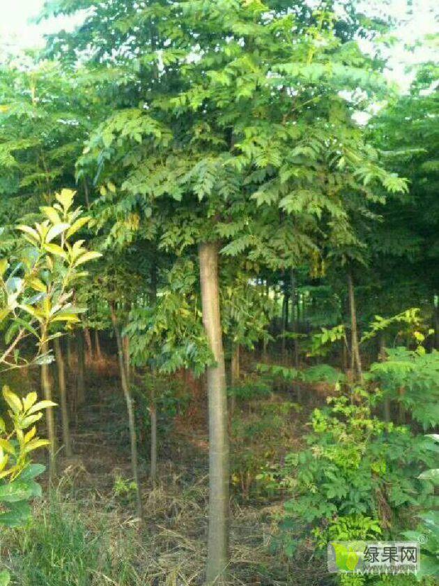 黃山欒樹,楊柳,香樟,落水杉