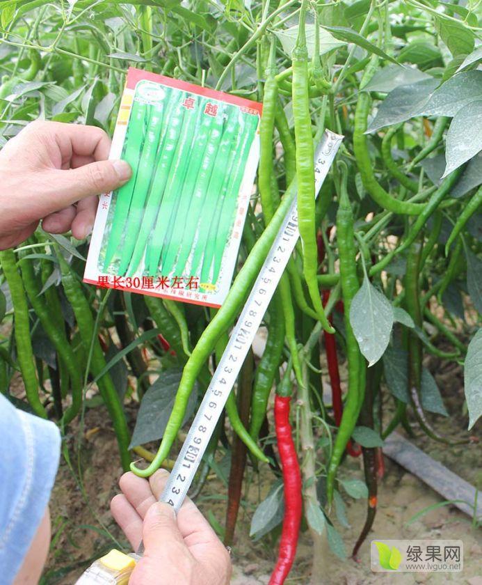 卓越线椒超长线椒条椒高产辣椒种子
