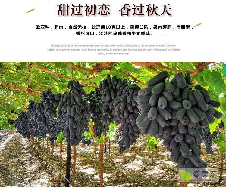 甜蜜蓝宝石葡萄苗专业培育基地小宋苗木品种纯正