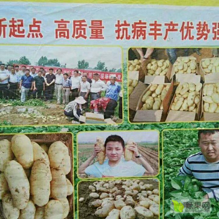 供应荷兰十五土豆种薯
