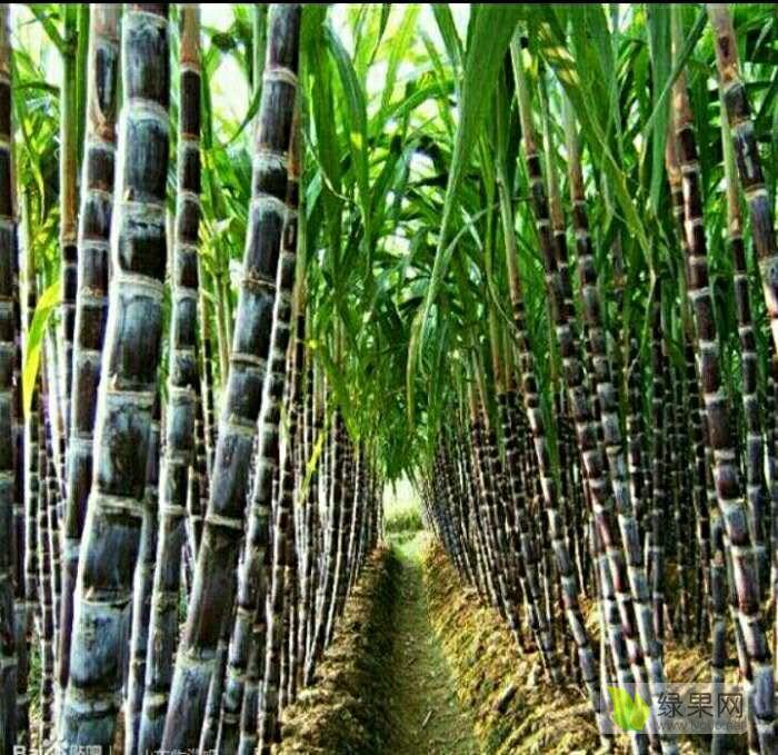 供应黑皮果蔗甘蔗种苗