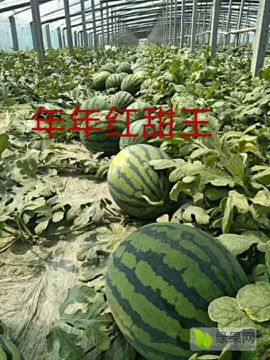 供应年年红甜王华耐甜王西瓜种子