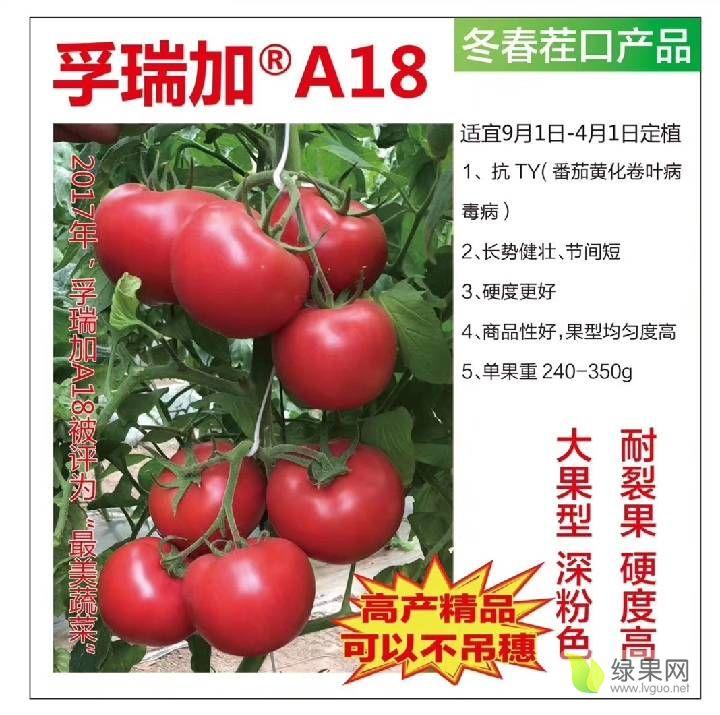 孚瑞加A18抗病毒高產量西紅柿種子番茄種子