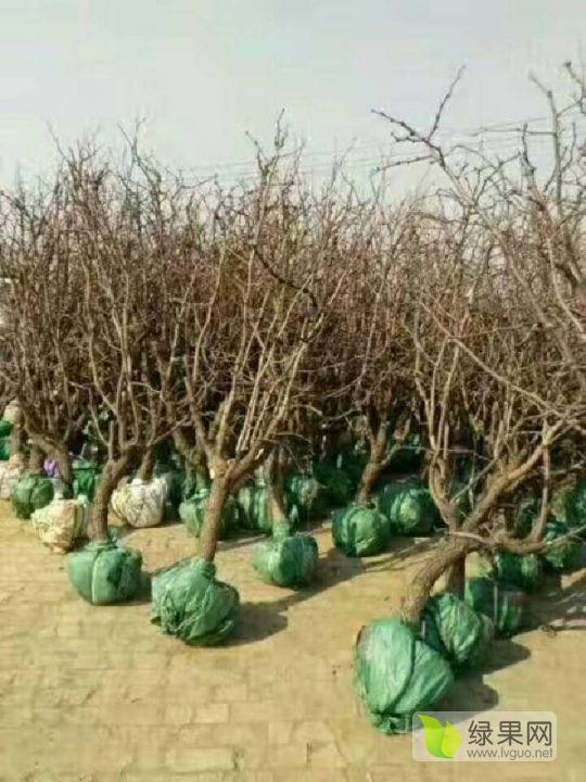 大型冬枣苗基地直供枣树苗价格