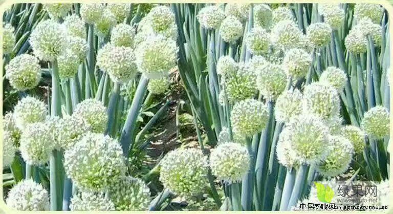河北隆尧大葱种子葱蒜种子逐渐升温