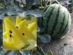 2019东台西瓜品种最全、质量最优、口感最好