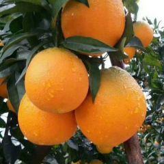 伦晚夏橙蜜乃橙子