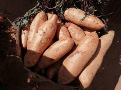 云南有着独特的地理位置种出来的红薯,有本地灰薯和西瓜红红薯,口感香甜