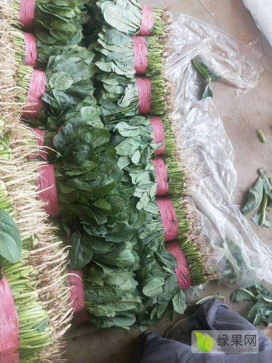 河北邯郸菠菜今年价格有看点