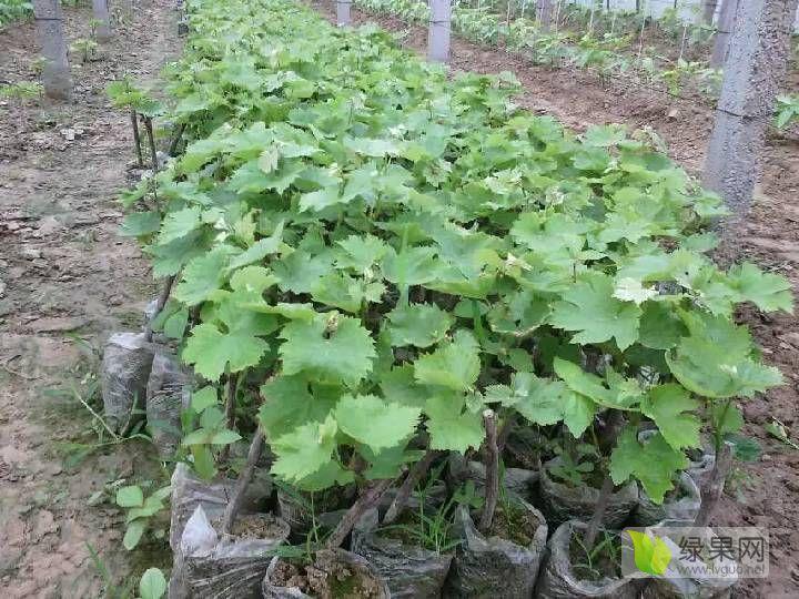 百姓种植优质大棚葡萄