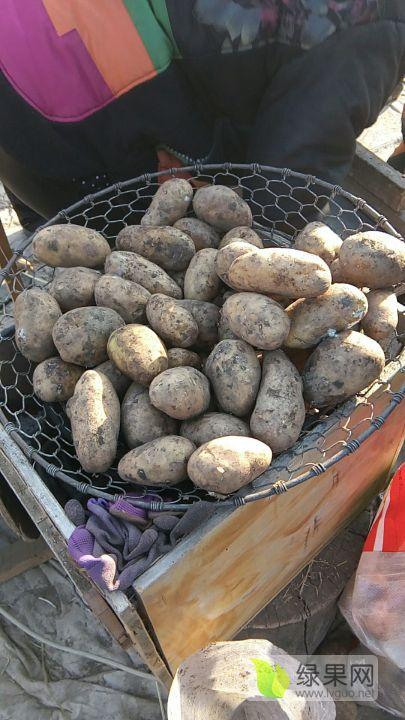 黑龍江土豆,荷蘭系列,尤金885,延暑四等等