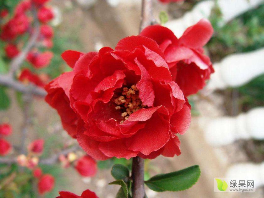 銷量領先的北美海棠苗最新價格
