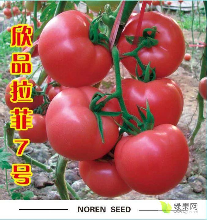 越夏耐熱抗病毒西紅柿-拉菲7改