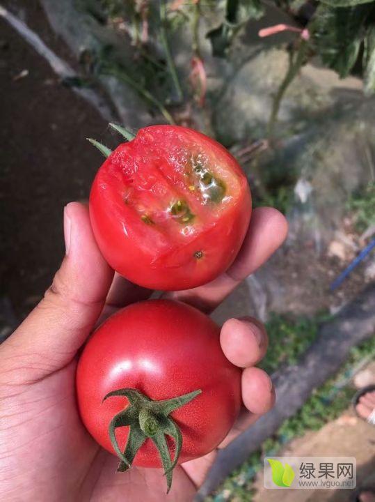 """口感番茄""""戴安娜""""種子、種苗、果品供應~"""