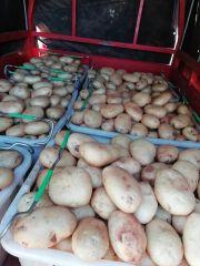 云南建水土豆,个大品质好