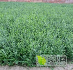 供應遼寧凌海5-7條水蠟樹苗