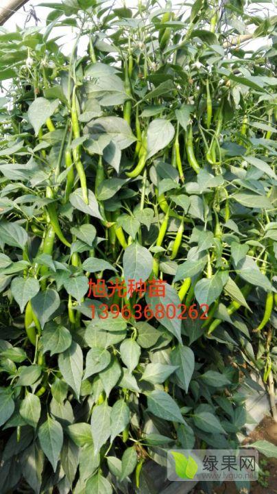 进口杭椒种子 供应
