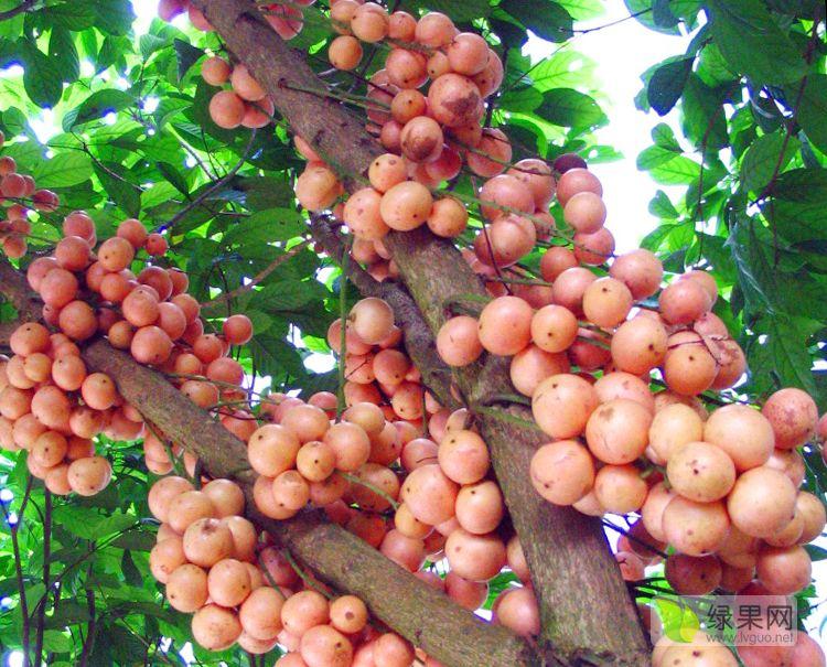 木奶果木兰果
