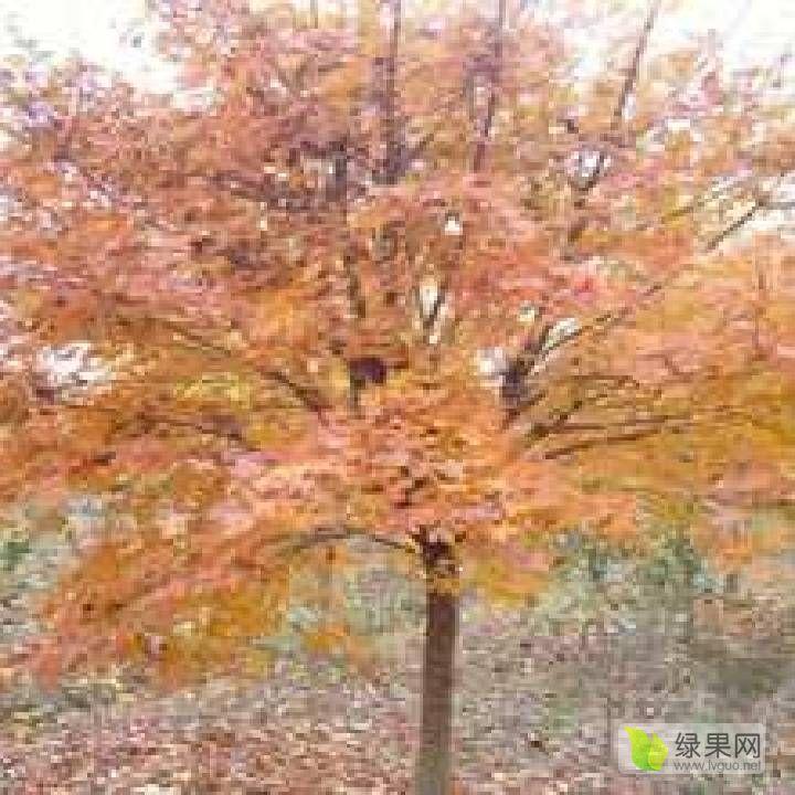五角枫元宝枫:独干和丛生。